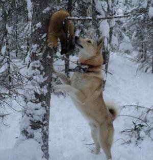 Охота на соболя с собаками