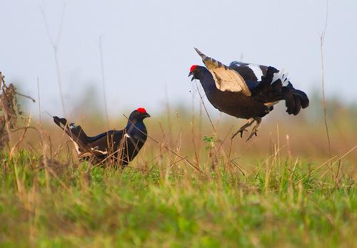 Сроки весенней охоты 2019 в Смоленской области