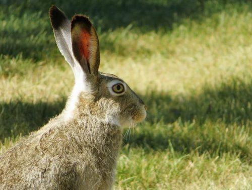 Заяц-беляк в лесу, как его обнаружить