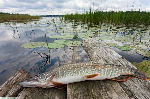 Ловля щуки, в заросших водоёмах